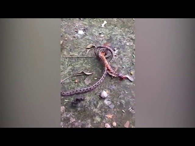 Video – A merciless confrontation of python and giant centipede | DZ